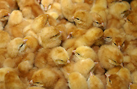 Poultry chicks.
