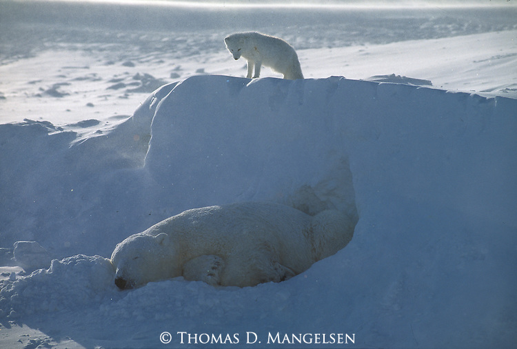 An arctic fox stands on a snowdrift above a sleeping polar bear at Hudson Bay in Manitoba, Canada.