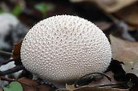 Gem-studded Puffball (Lycoperdon perlatum) a/k/a Common Puffball, Gemmed Puffball. Edible when young, fresh and firm. Henry Cowell Redwoods State Park. Near Scotts Valley, Santa Cruz Co., Calif.