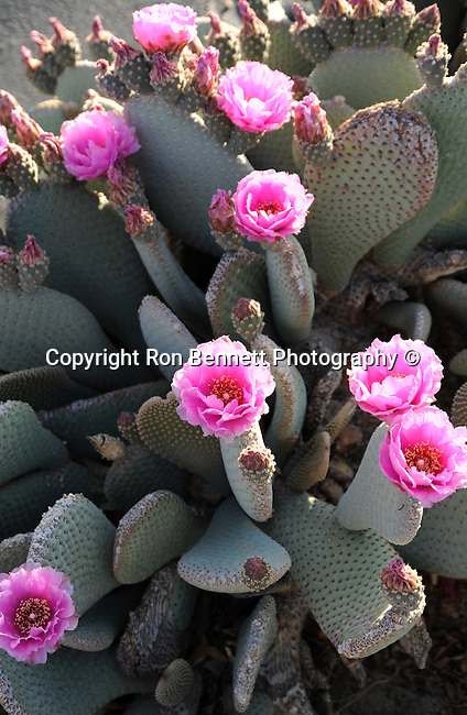 Beaver Tail Cactus flowers Southern California,