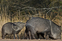 650520240 wild javelina or collared peccaries dicolyties interact on beto gutierrez santa clara ranch hidalgo county lower rio grande valley texas united states