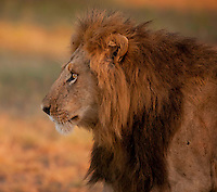Male lion in early morning light, Masai Mara, Kenya.