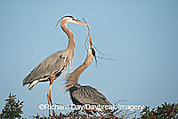 00684-039.15 Great Blue Herons (Ardea herodias) placing stick on nest Sarasota Co.   FL
