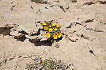 Yellow Sea Aster plant in flower, Asteriscus maritimus, Cabo de Gata natural park, Almeria, Spain