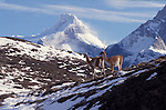 2 Guanacos on patchy snow covered hill with the summit of Paine Grande mountain  in the background. Torres del Paine National Park, Chile
