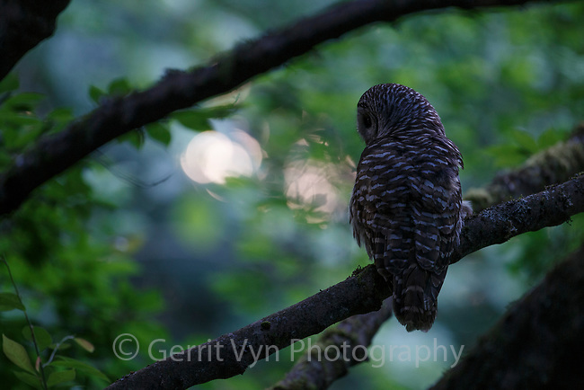 Adult Barred Owl (Strix varia) hunting at dusk. King County, Washington. May.