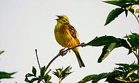 Goldammer, Männchen, singend auf Sitzwarte, Singwarte, Gold-Ammer, Ammer, Emberiza citrinella, yellowhammer, male, Le Bruant jaune