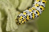 Mullein Moth - Shargacucullia verbasci