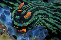 This colorful nudibranch, Nembrotha kubaryana, is feeding on a colony of tunicates. Malaysia, South China Sea, Pacific Ocean
