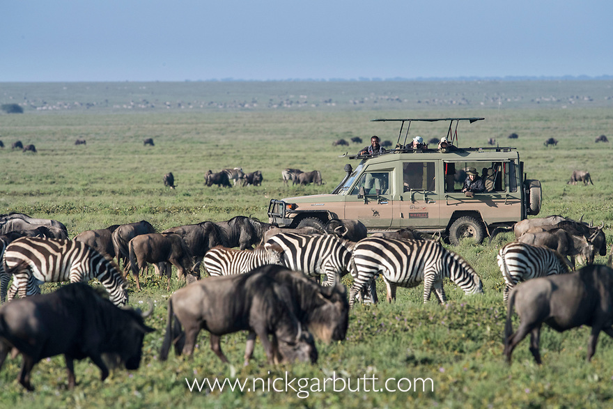 Herds of white-bearded wildebeest (Connochaetes taurinus albojubatus) and plains or Burchell's zebra (Equus quagga burchellii) watched and photographed by tourists on the short grass plains near Ndutu. Ngorongoro Conservation Area / Serengeti National Park, Tanzania, East Africa