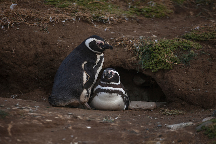 This pair of Magdellanic penguins hang out at their nesting burrow on Magdalena Island, Straits of Magellan