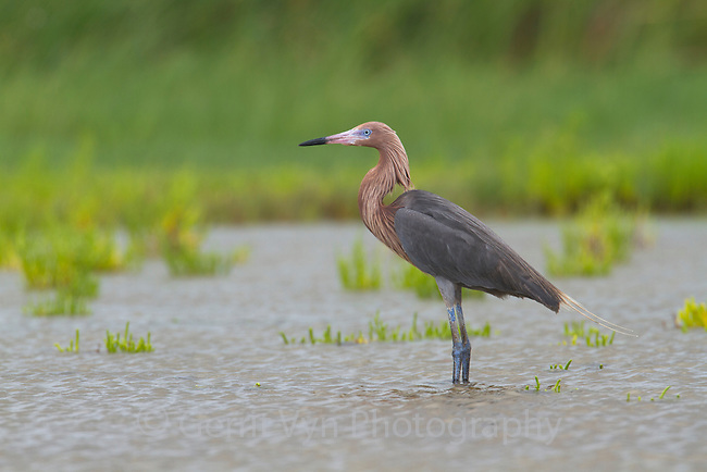 Adult Reddish Egret (Egretta thula). Jefferson Parrish, Louisiana. July 2010.