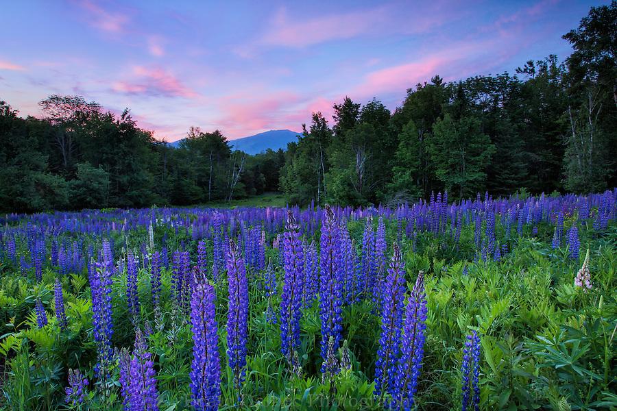 Sunrise over lupine field, Sugar hill, New Hampshire