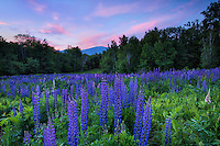 Sunrise over lupine field, Sugar hill, New Hampshire