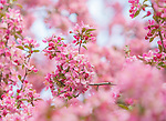 blossoms of crab apple tree in full bloom