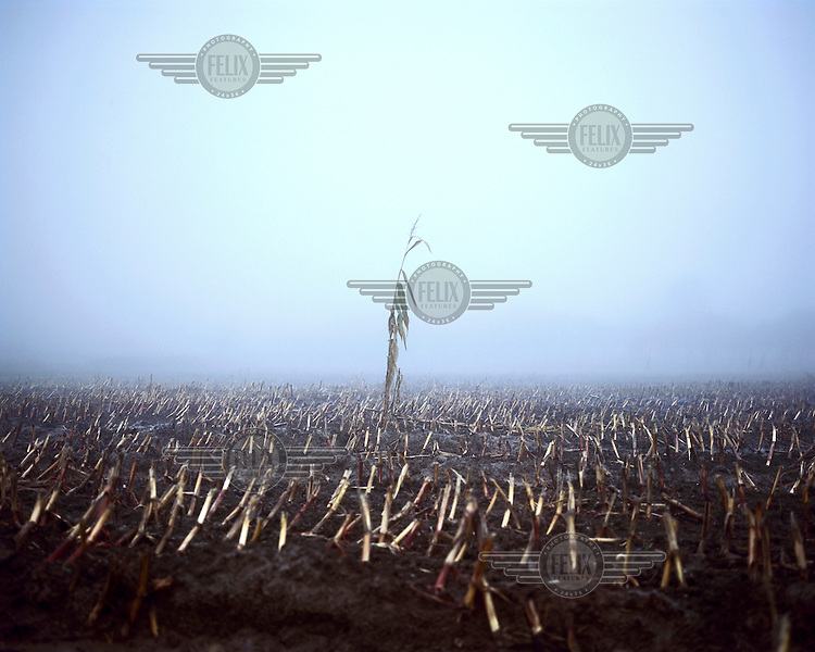 Fog envelopes a field of maize stalks beside the Hooge Crater Commonwealth War Cemetery where almost 6,000 men, killed in the Ypres Salient during World War I, are laid to rest.