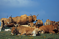 Europe/France/Auvergne/12/Aveyron/Env. de Laguiole : Aubrac - Vaches de race Aubrac en pâturage
