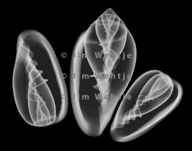 X-ray image of three margin seashells (white on black) by Jim Wehtje, specialist in x-ray art and design images.