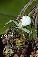 CS09-003a Crab or Goldenrod Spider with honeybee prey on Milkweed flowers - Misumena vatia