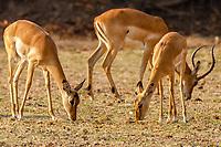 africa, Zambia, South Luangwa National Park, impala female