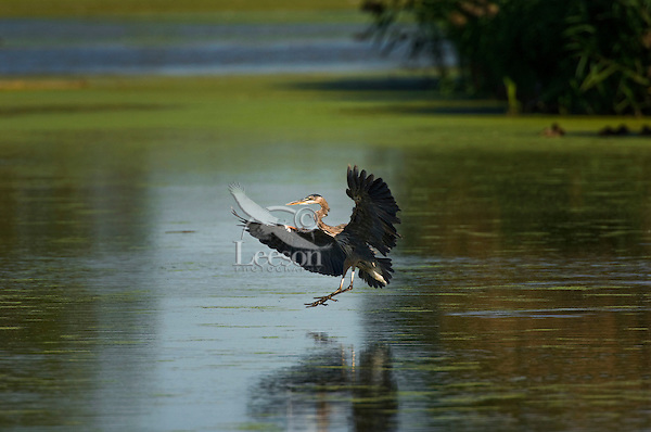 Great Blue Heron (Ardea herodias) in flight, mid-September, near Point Pelee National Park, southwestern Ontario, Canada.