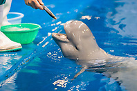Indo-Pacific finless porpoise or sunameri, Neophocaena phocaenoides, feeding, found in coastal waters of Asia from Japan, China, Indonesia, India to Persian Gulf, captive