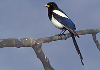 Yellow-billed Magpie - Pica nuttalli