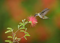 Ruby-throated Hummingbird (Archilochus colubris), female feeding on Fairy Duster (Calliandra eriophylla), Hill Country, Central Texas, USA