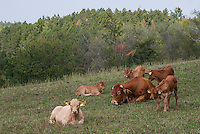 Pozzallo frazione di Romagnese (Pavia). Cooperativa Agricola Canedo: allevamento semibrado di bovini da carne --- Pozzallo Romagnese (Pavia). Canedo Agricultural Cooperative: semi-wild breeding of beef cattle