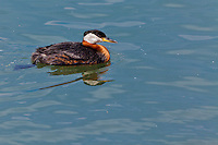 A view of a Red Necked Grebe in Bronte Harbour Oakville