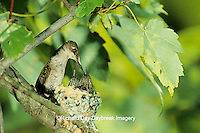 01162-00618 Ruby-throated hummingbird (Archilochus colubris) female feeding nestlings   IL