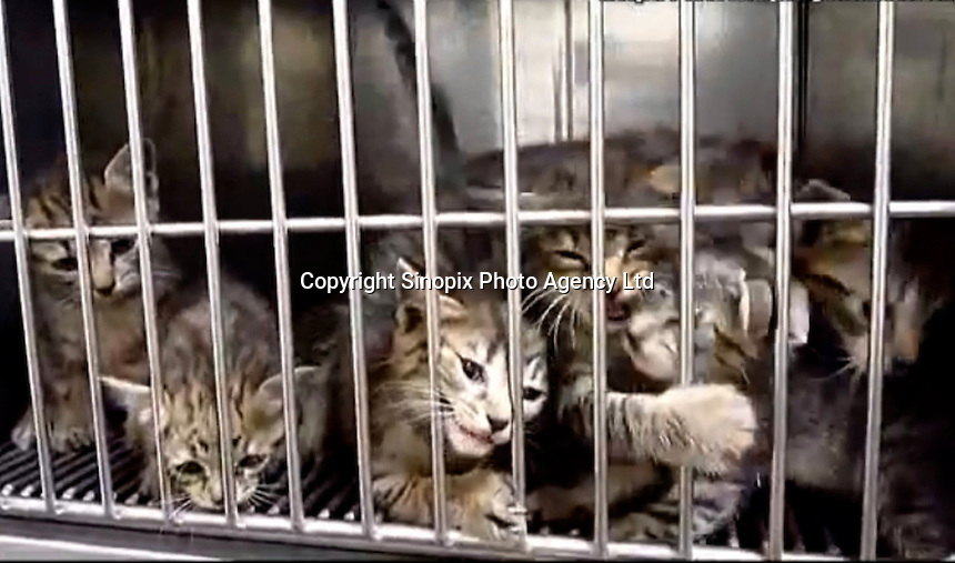 "Cats that are soon to be killed gassed in a ""dreambox"" in a hokenjo or animal collection and health center.  Japan kills over 200,000 cats and dogs annually by gassing them with carbon dioxide...photo by  / Sinopix............"