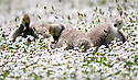 "26/05/2012 ..A family of canada geese explore a huge field of daisies that look like snow by their pond near Haslemere, Surrey.  The five four-week-old chicks spent the morning in the flowers before cooling off in Hammer Ponds, Shottermill. One passerby said: ""The geese eat the grass but not the daisies that's why they do so well - although I've never seen as many as there are this year - the hot weather's made them all come out together.""..All Rights Reserved - F Stop Press.  www.fstoppress.com. Tel: +44 (0)1335 300098.Copyrighted Image. Fees charged will reflect previously agreed terms or space rates for individual publications, states or country."