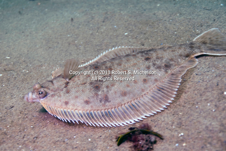 Winter flounder swimming.