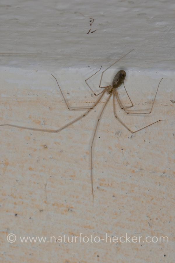 Große Zitterspinne, Zitter-Spinne, an der Zimmerdecke in der Wohnung, Pholcus phalangioides, long-bodied cellar spider, longbodied cellar spider