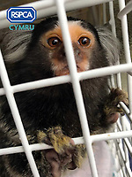 2017 04 28 Marmoset monkey found for sale on social media by RSPCA, Swansea, UK