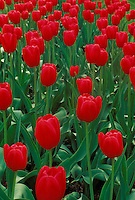 Red tulips in rows planted for city median strip along roadway
