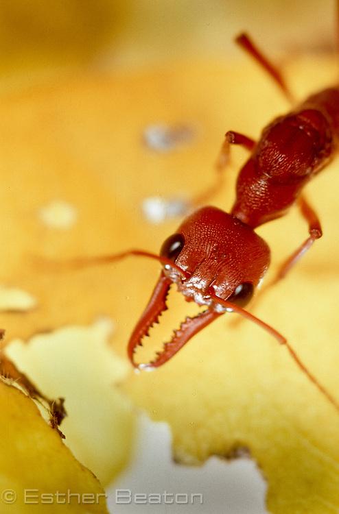Bull Ant (Myrmecia pavida) Family Formicidae, reddish colour, 27 mm long. Sydney, NSW