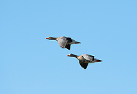 Two Greater White-fronted Geese, Anser albifrons, fly over Miller Island, Klamath Wildlife Area, Oregon