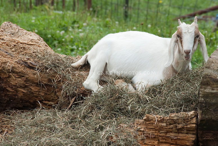 Farm animal, white goat lying down, with brown markings on face and horns, in hay, fenced area