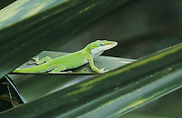 Green Anole, Anolis carolinensis, adult on palm leaf, Sabal Palm Sanctuary, Rio Grande Valley, Texas, USA, May 2002