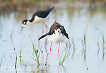 Black-necked Stilt (Himantopus mexicanus) pair in wetland, female in foreground is shaking her wings, Bear River Migratory Bird Refuge, Utah, USA