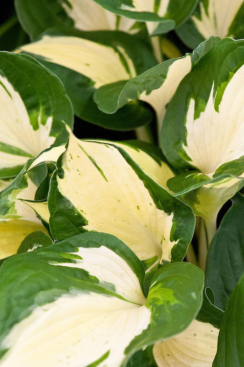 Hosta 'Revolution', a sport of H. 'Loyalist'.