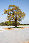 Oak tree with fleece sheets on field