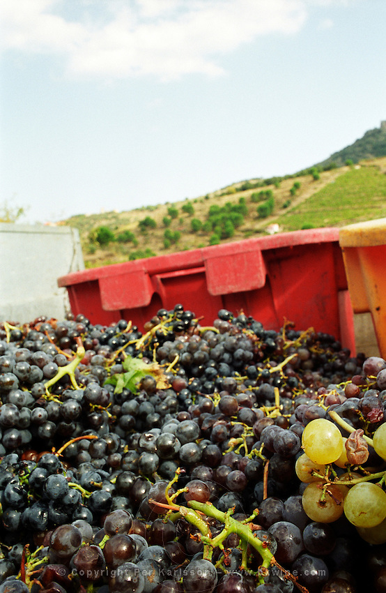 Grenache just harvested. Cave cooperative Cellier des Dominicains, Collioure. Collioure. Roussillon. France. Europe.