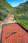 A coffee farm's morning harvest of picked coffee cherries or berries fills the back of a pickup truck.  The cherries will be driven to a coffee cooperative to be weighed.