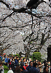 April 7, 2012, Tokyo, Japan - Thousands of Japanese turn out to appreciate the full blooms of cherry blossoms at Chidorigafuchi park in the heart of Tokyo on Saturday, April 7, 2012...Its Easter weekend for Christians but its a cherry blossoms viewing time for Japanese. The annual cherry blossoms blooms is a national obsession in the country and specially this years Hanami was keenly awaited because of the harsh winter and after a disastrous year of March 11 earthquake and tsunami in the nations northeastern region. (Photo by Natsuki Sakai/AFLO) AYF -mis-.
