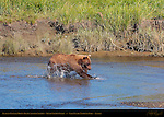 Alaskan Coastal Brown Bear Catching Salmon, Silver Salmon Creek, Lake Clark National Park, Alaska