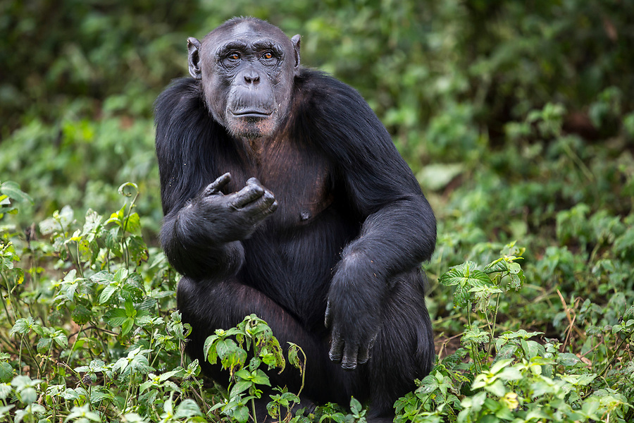 Female chimp, Ndyakira, is photographed at the Ngamba Island Chimpanzee Sanctuary in Lake Victoria, Uganda. Ndyakira, who has been on Ngamba Island since 2002, has a bald forehead and little hair around her face. Ndyakira meansí I will surviveí in Rutoro. She was named after a very famous environmental journalist in Uganda who helped in uncovering the story of the four chimps that traveled to Russia and eventually to Uganda (some of whom are now at Ngamba). Ndyakira was confiscated from dealers in Kampala. After being informed that someone was trying to sell an infant chimp, CSWCT with the assistance of the Wildlife Authority, arranged a sting operation and successfully rescued Ndyakira.<br /> On arrival Ndyakira was underweight, had a very poor appetite, dull hair all symptoms of poor nutrition. She was both psychologically and physically unhealthy. She happily integrated into the group and loves being in the trees while in the forest. She has an average hierarchy especially in her age group.  03/15 Julia Cumes/IFAW