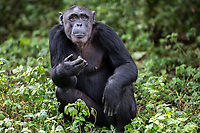 Female chimp, Ndyakira, is photographed at the Ngamba Island Chimpanzee Sanctuary in Lake Victoria, Uganda. Ndyakira, who has been on Ngamba Island since 2002, has a bald forehead and little hair around her face. Ndyakira means&iacute; I will survive&iacute; in Rutoro. She was named after a very famous environmental journalist in Uganda who helped in uncovering the story of the four chimps that traveled to Russia and eventually to Uganda (some of whom are now at Ngamba). Ndyakira was confiscated from dealers in Kampala. After being informed that someone was trying to sell an infant chimp, CSWCT with the assistance of the Wildlife Authority, arranged a sting operation and successfully rescued Ndyakira.<br /> On arrival Ndyakira was underweight, had a very poor appetite, dull hair all symptoms of poor nutrition. She was both psychologically and physically unhealthy. She happily integrated into the group and loves being in the trees while in the forest. She has an average hierarchy especially in her age group.  03/15 Julia Cumes/IFAW